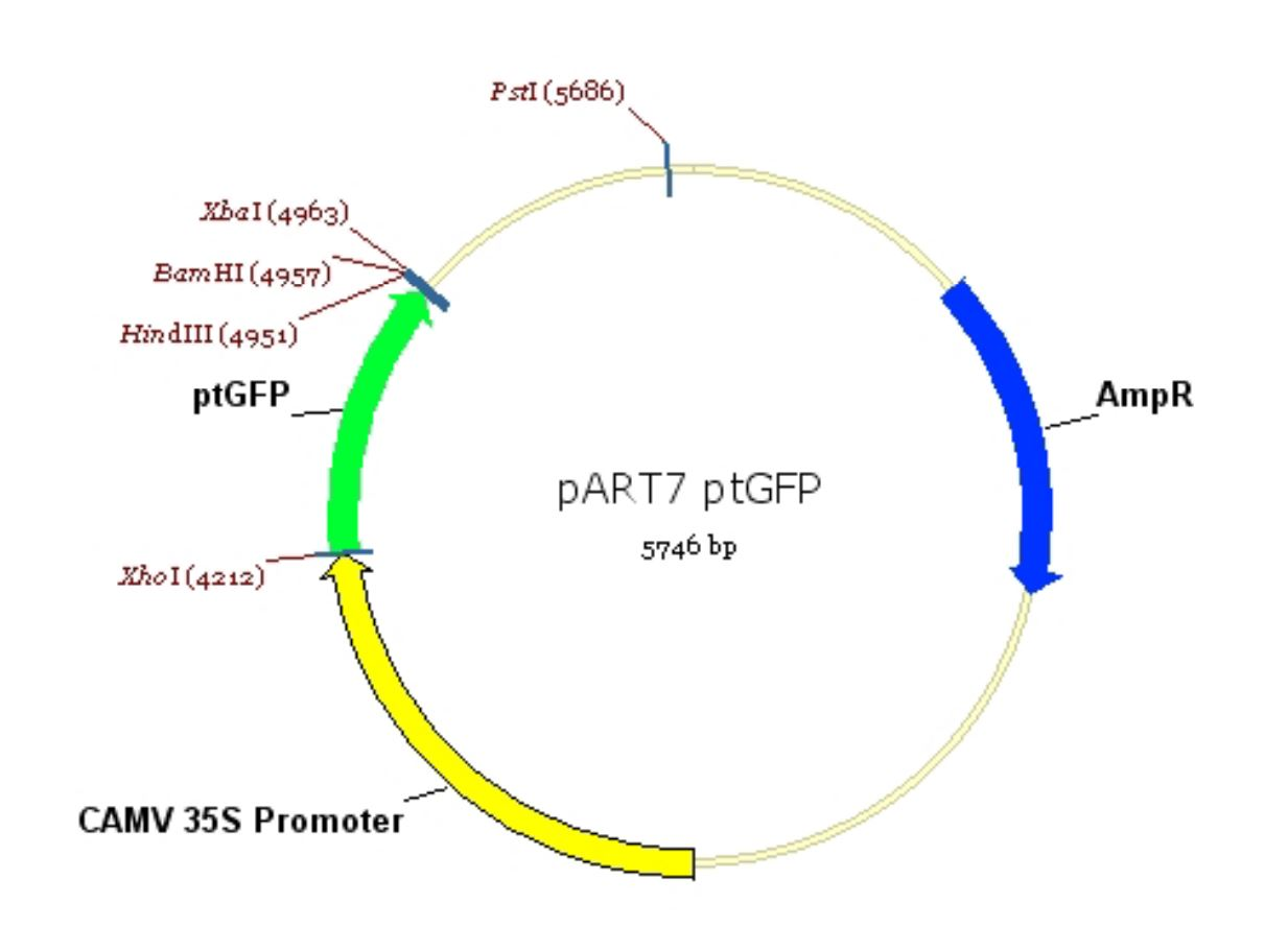 120 pART7-Pt-GFP map