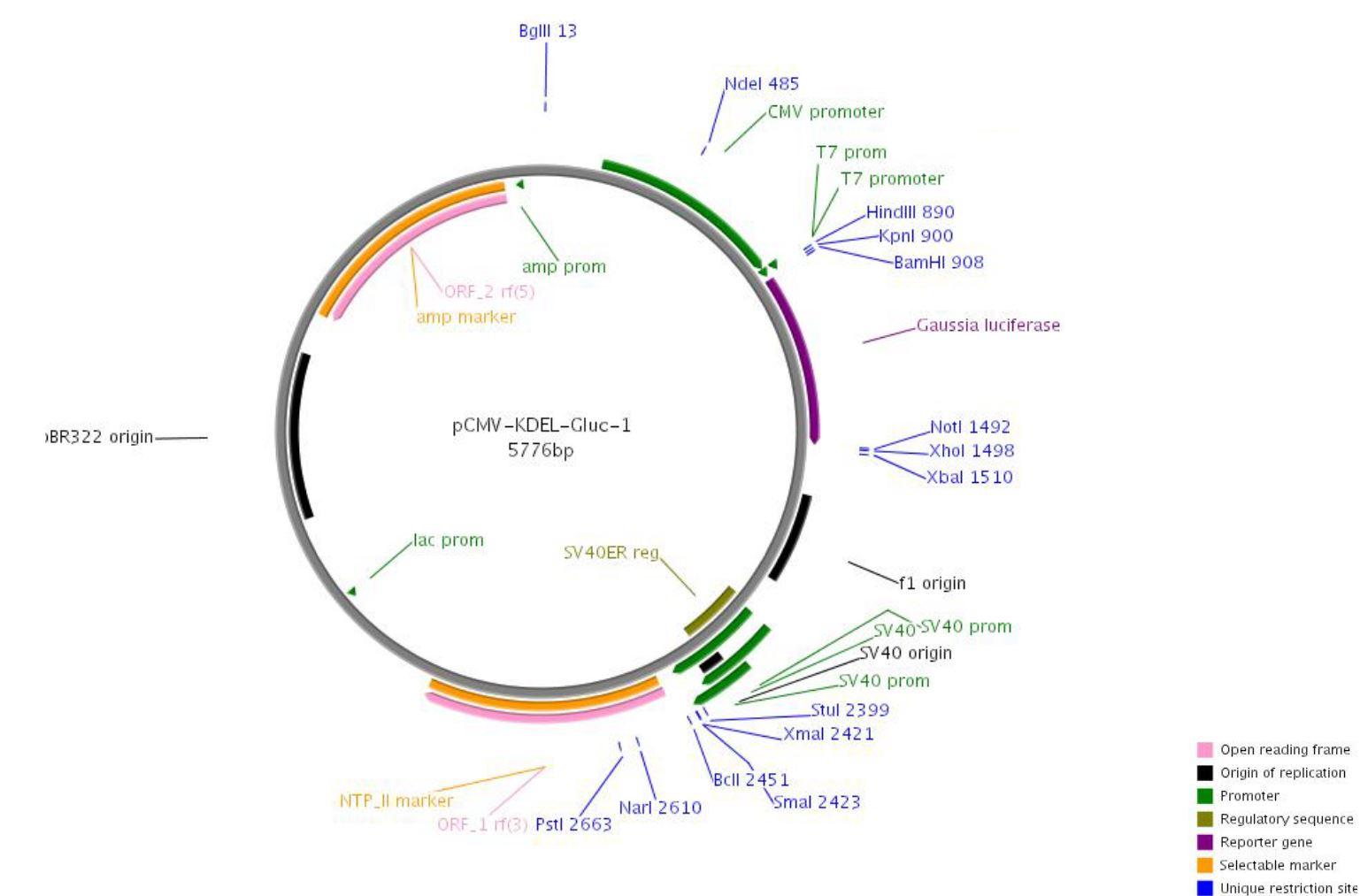 206 pCMV-Gluc-KDEL map