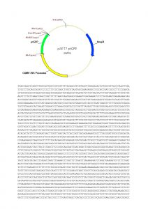 120 Plasmid_pART7_PtGFP sequence_map PDF